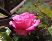 rosa1001